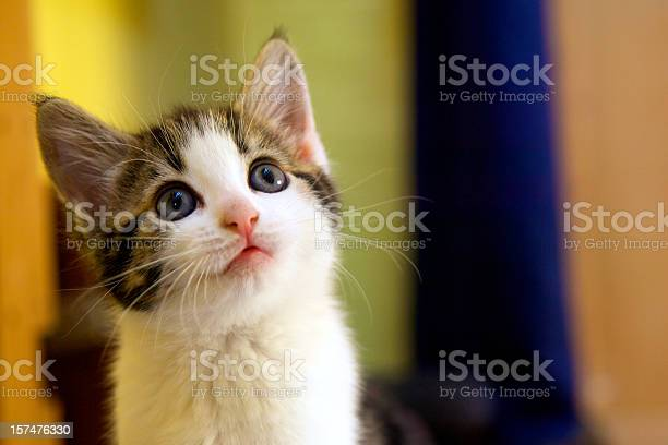 Kitten facing up with a questioning facial expression picture id157476330?b=1&k=6&m=157476330&s=612x612&h=guq3cepidhqbqjbatu7i1w4oavg8afijtnje8puv93a=