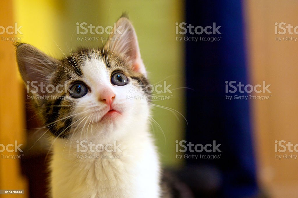 Kitten facing up with a questioning facial expression stock photo