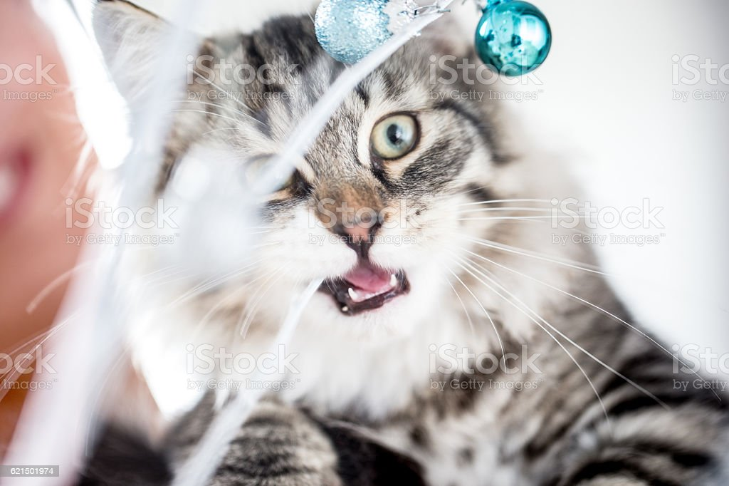 Kitten getting into the Christmas Spirit foto stock royalty-free