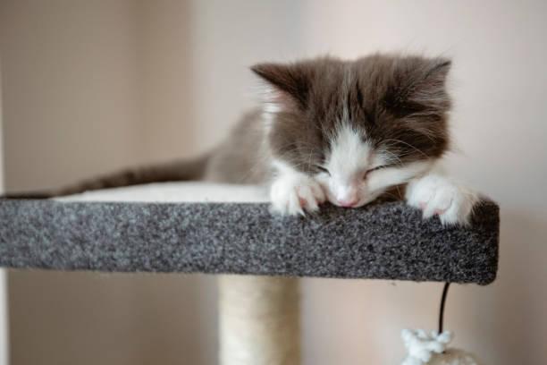 Kitten having a nap picture id1187107000?b=1&k=6&m=1187107000&s=612x612&w=0&h=ss7bkw 1gcny6lfmpovzt96bx3cb epxt pya5liyx4=