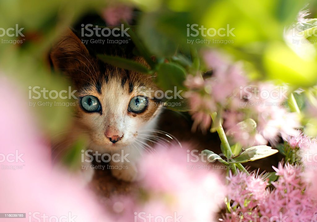 Kitten hiding behind flowers in the garden stock photo