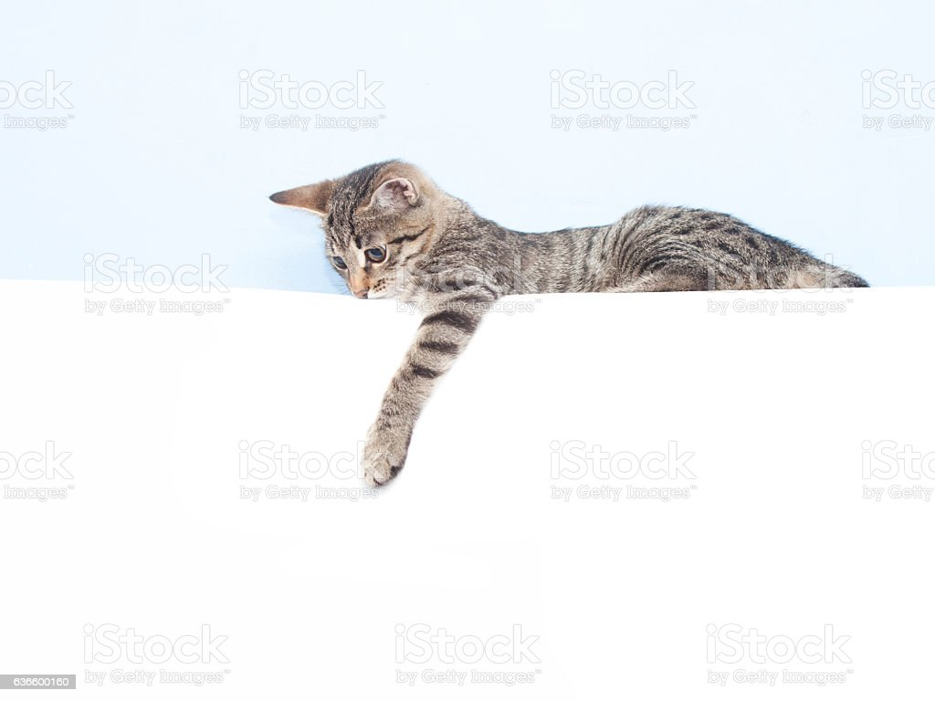 Kitten holding a white sheet stock photo