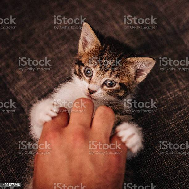 Kitten holding mans hand with its paws while being tickled picture id499127246?b=1&k=6&m=499127246&s=612x612&h=9ei gnp0xtgu6 99hnslwpzd6 tjbiiflr0oiswe5s0=