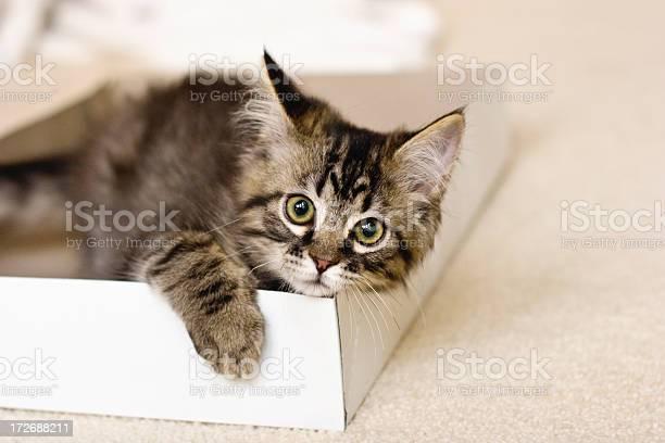Kitten in a box picture id172688211?b=1&k=6&m=172688211&s=612x612&h=9i3sftir0dwyddcj1o5m0gutmokwv08 y2e7derkxpq=