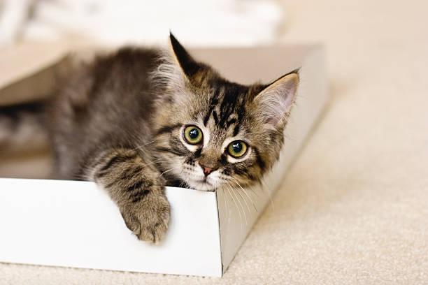 Kitten in a box picture id172688211?b=1&k=6&m=172688211&s=612x612&w=0&h=in5dernuthgzbttu7oqscdnksd4encsgehr 3q16fpe=