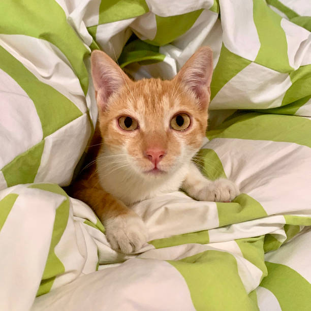 Kitten in a duvet stock photo