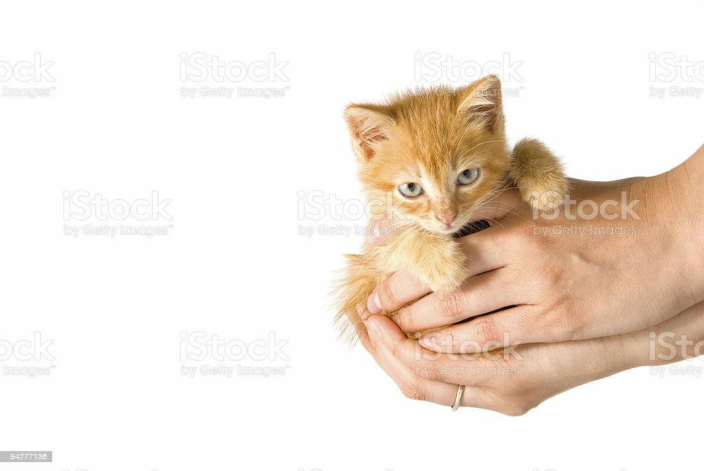 Kitten in a hands royalty-free stock photo