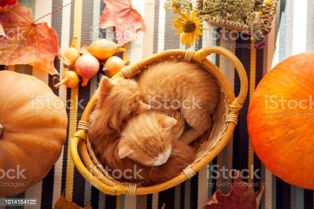 Kitten in basket and autumn pumpkins and other fruits and vegetables picture id1014154122?b=1&k=6&m=1014154122&s=612x612&h=6yyqaav n33egzooqgk8s2gqgp0osowqyb tcvpjezq=