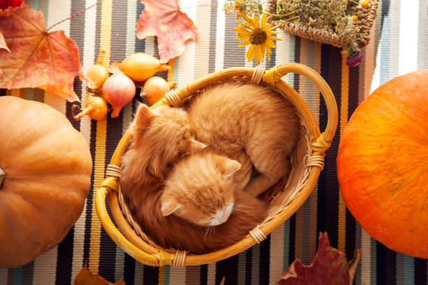kitten in basket and autumn pumpkins and other fruits and vegetables on a wooden thanksgiving table kitten in basket and autumn pumpkins and other fruits and vegetables on a wooden thanksgiving table thanksgiving pets stock pictures, royalty-free photos & images