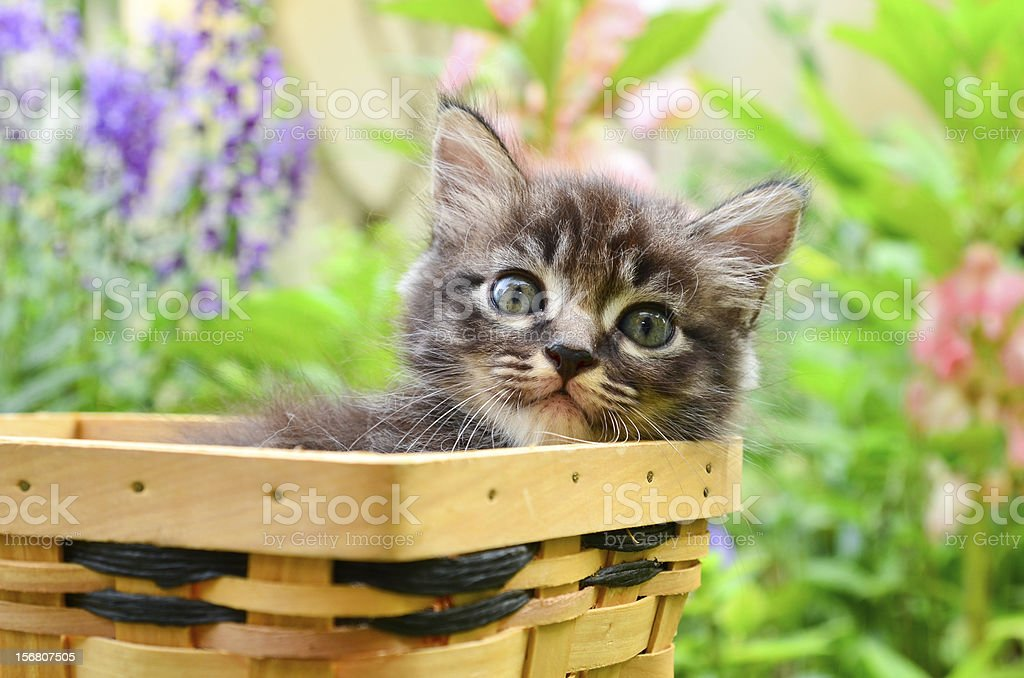 kitten in basket royalty-free stock photo