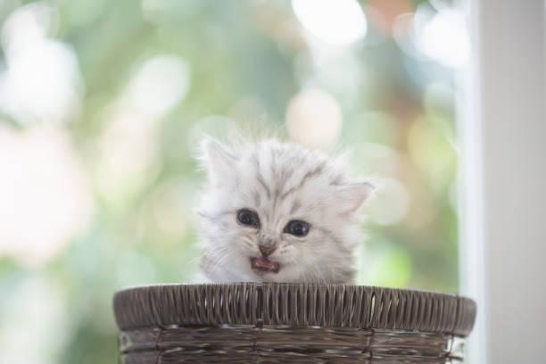 Kitten in basket picture id958625526?b=1&k=6&m=958625526&s=612x612&w=0&h=wisxvikxrlqcbzwbqb7b3pllox6of qfactaph6zaqe=