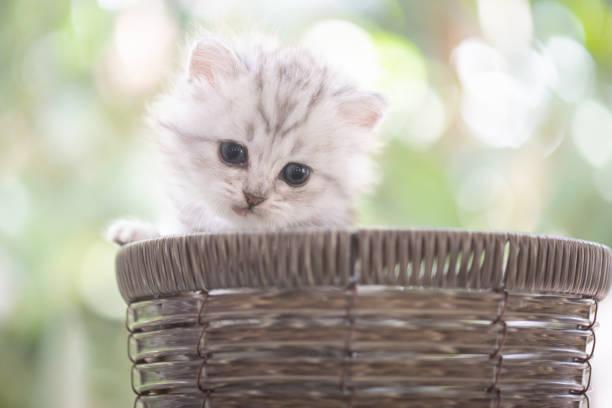 Kitten in basket picture id958625568?b=1&k=6&m=958625568&s=612x612&w=0&h=hxf6moeft05i264wxc0 csmrzvccm0gvn3dawznwiai=