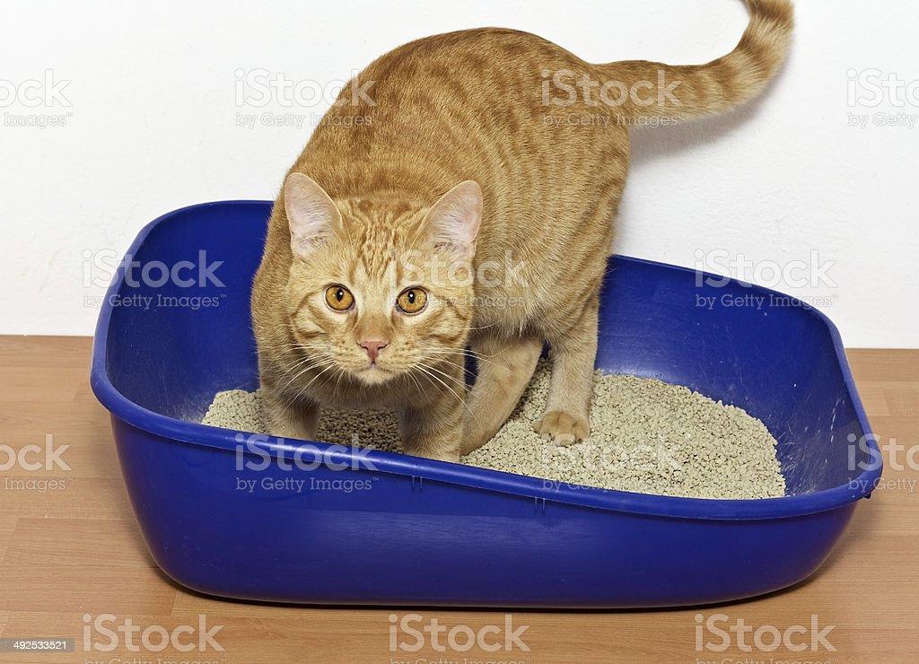 kitten in blue plastic litter cat - Royalty-free Animal Stock Photo