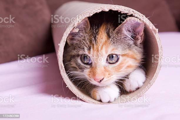 Kitten in cardboard pipe picture id172480288?b=1&k=6&m=172480288&s=612x612&h=bva6nadgg fy9yfruzmjmvtrmufsu8thusurrwyeug8=