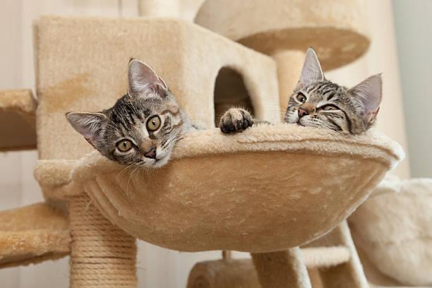 kätzchen in katze furmiture - katzen kissen stock-fotos und bilder