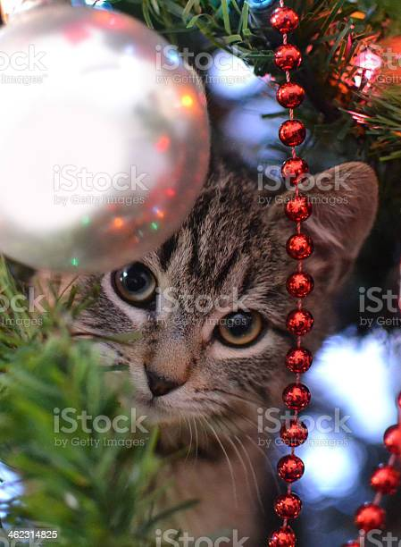Kitten in christmas tree picture id462314825?b=1&k=6&m=462314825&s=612x612&h=cs4fowwcqdzpum kv ew8egaeipo8btzh1iwi6vhhck=