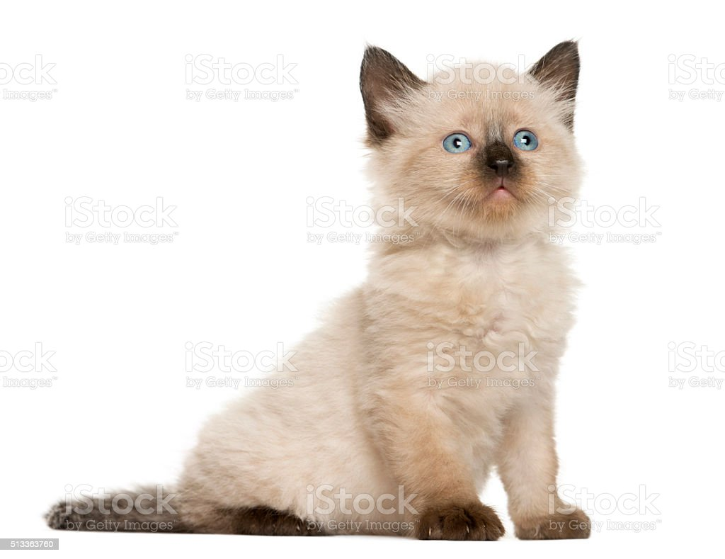 Kitten in front of white background stock photo