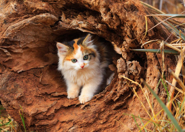 Kitten in Hollow Log A playful kitten peeks out of a hollow log. tortoiseshell cat stock pictures, royalty-free photos & images