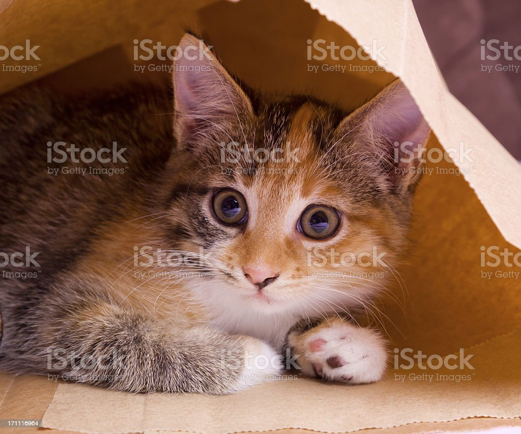 kitten in paper bag royalty-free stock photo