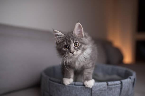 Kitten in pet bed picture id1134696660?b=1&k=6&m=1134696660&s=612x612&w=0&h=o2qet694epegvhksxq33kmrxbdkwkatfvtcijtfdp7u=