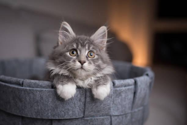 Kitten in pet bed picture id1134696751?b=1&k=6&m=1134696751&s=612x612&w=0&h=ti1fw0owbw4jdkckeu46euu7 ksrr4nayr8j3pnxsni=
