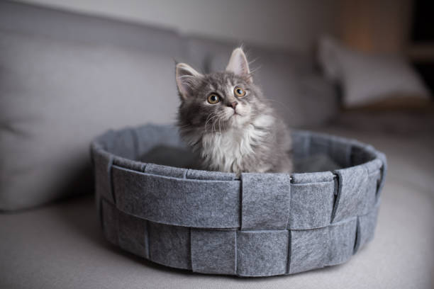 kätzchen im haustierbett - grau getigerte katzen stock-fotos und bilder