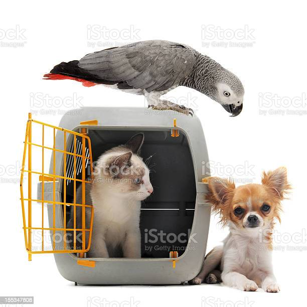 Kitten in pet carrier parrot and chihuahua picture id155347808?b=1&k=6&m=155347808&s=612x612&h=fpl33ljhi5krysfdhdskaywb9fza5vak rl1vj1beas=