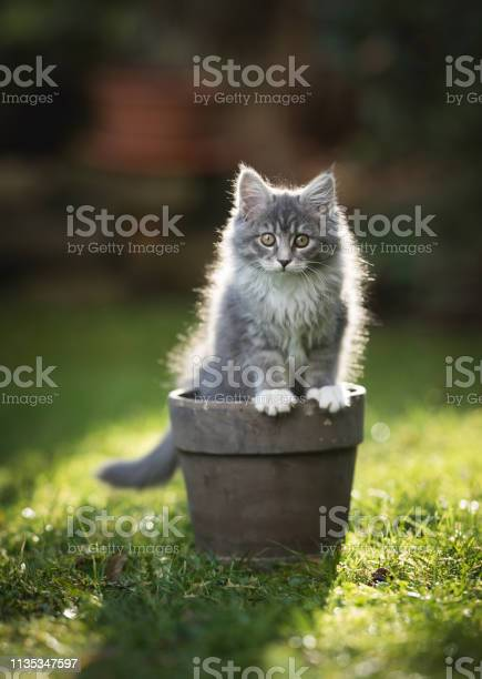 Kitten in plant pot picture id1135347597?b=1&k=6&m=1135347597&s=612x612&h=caro38uzr0ghspgzsqsmeooa4olu1 uxoyimlxixb68=