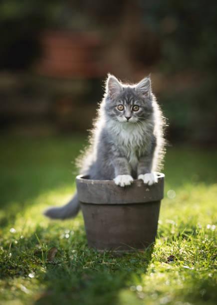 Kitten in plant pot picture id1135347597?b=1&k=6&m=1135347597&s=612x612&w=0&h=ozge8vsoq2yhoapstceprx8nevzelkhm2rzkxohqao8=