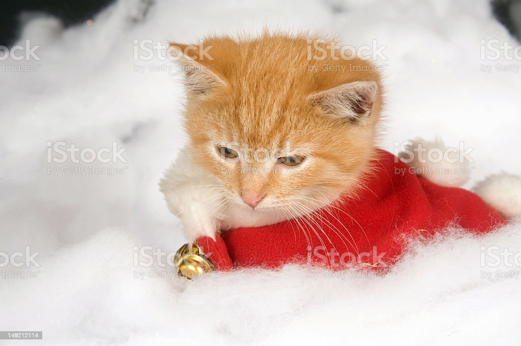 Kitten in red holiday vest stock photo