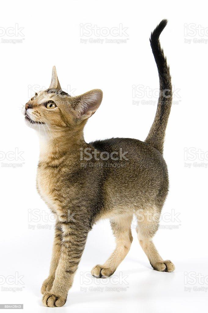 Kitten in studio royalty-free stock photo
