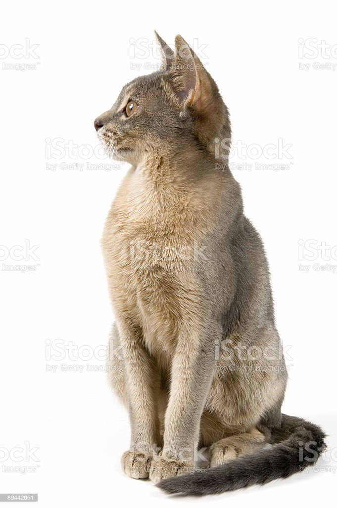 Kitten in studio royalty free stockfoto