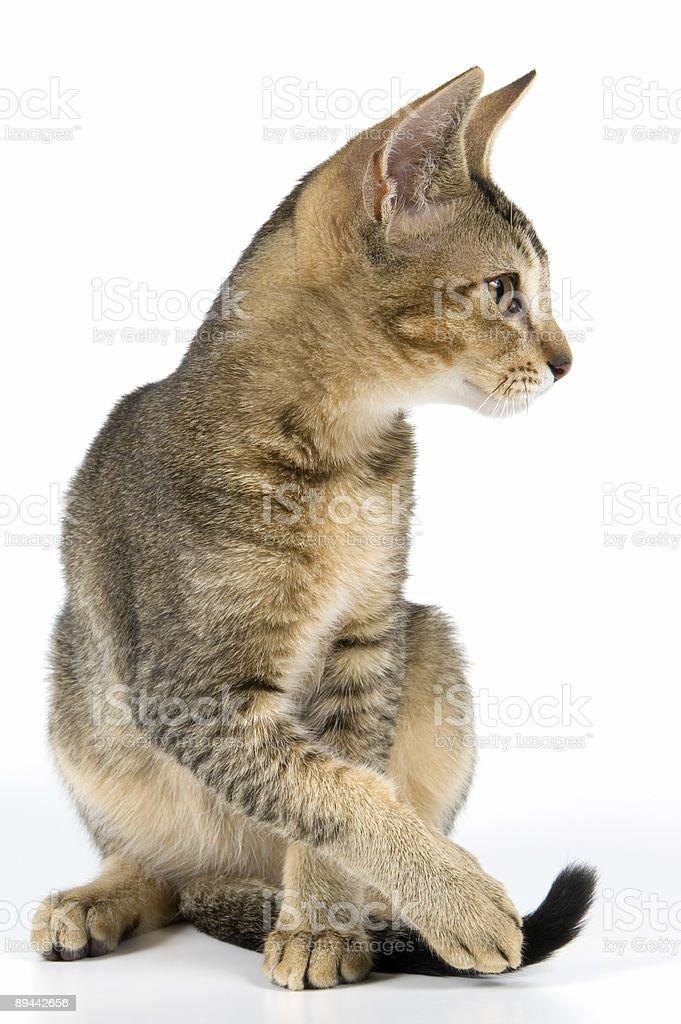 Kitten in studio royaltyfri bildbanksbilder