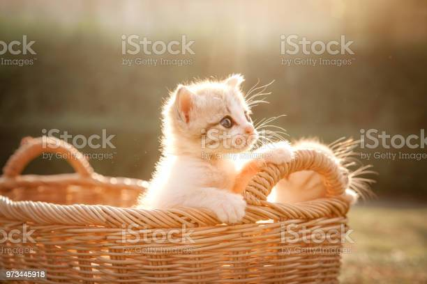 Kitten in the basket stand up and looking forward picture id973445918?b=1&k=6&m=973445918&s=612x612&h=j mjfxtpvqx8 bmpqo5z20obcejar0rrz7g wu5iqde=