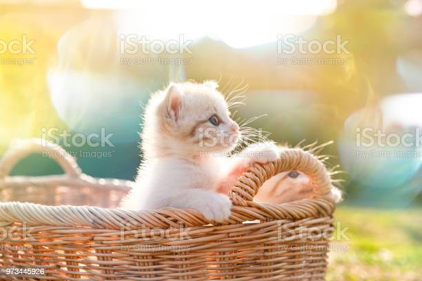 Kitten in the basket stand up and looking forward picture id973445926?b=1&k=6&m=973445926&s=612x612&h=yephol4ufgxj3bdhwkvgnnzax zfi7 srxczbakvsuy=