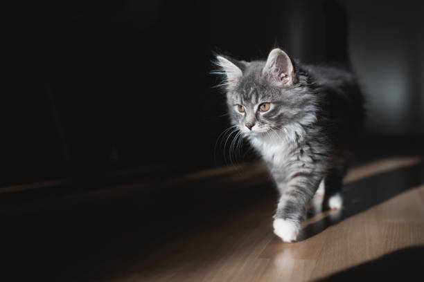 kätzchen am morgen sonnenlicht - grau getigerte katzen stock-fotos und bilder