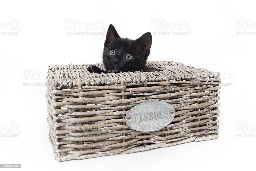 kitten in tissue box isolated stock photo