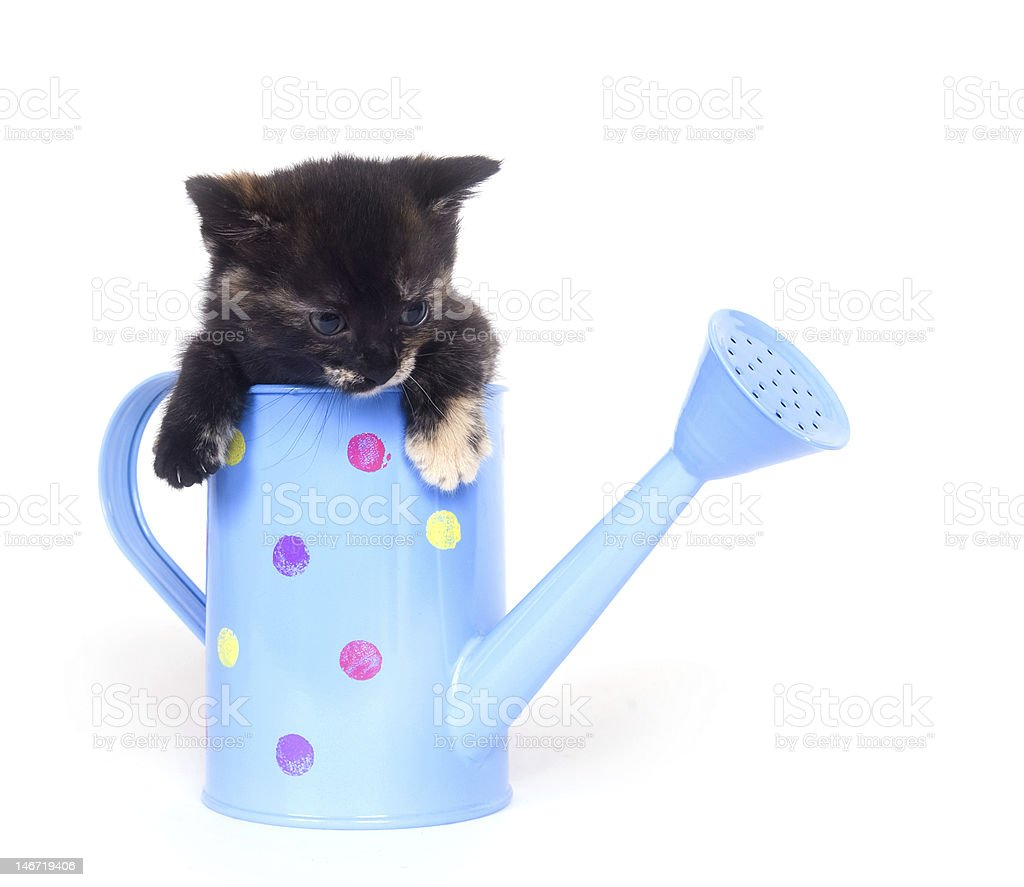 Kitten in watering can royalty-free stock photo