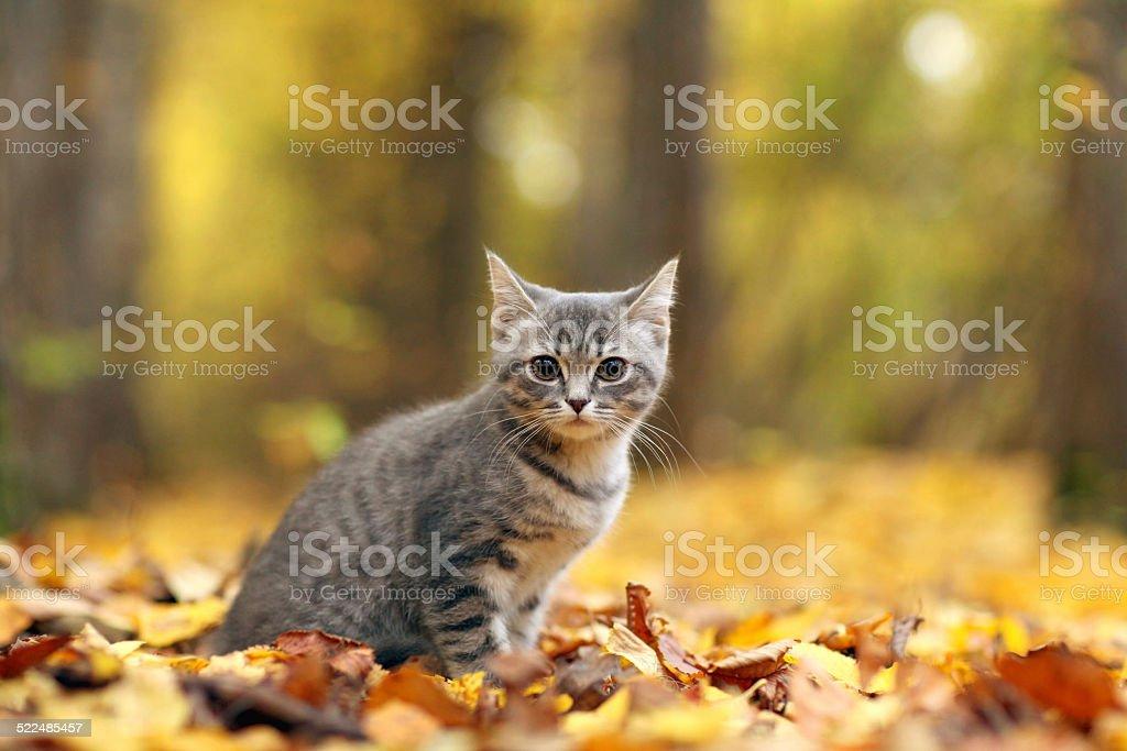 kitten in yellow leaves stock photo