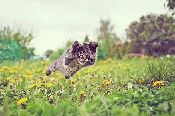 Kitten is jumping picture id512045955?b=1&k=6&m=512045955&s=612x612&w=0&h=f rrjzbzqu5gpzcfi togqd3fv55kog9qzjocieic3o=