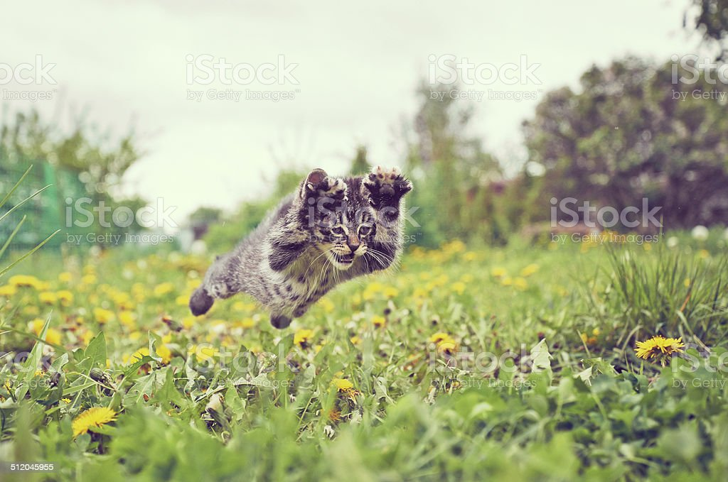 Kitten is jumping stock photo
