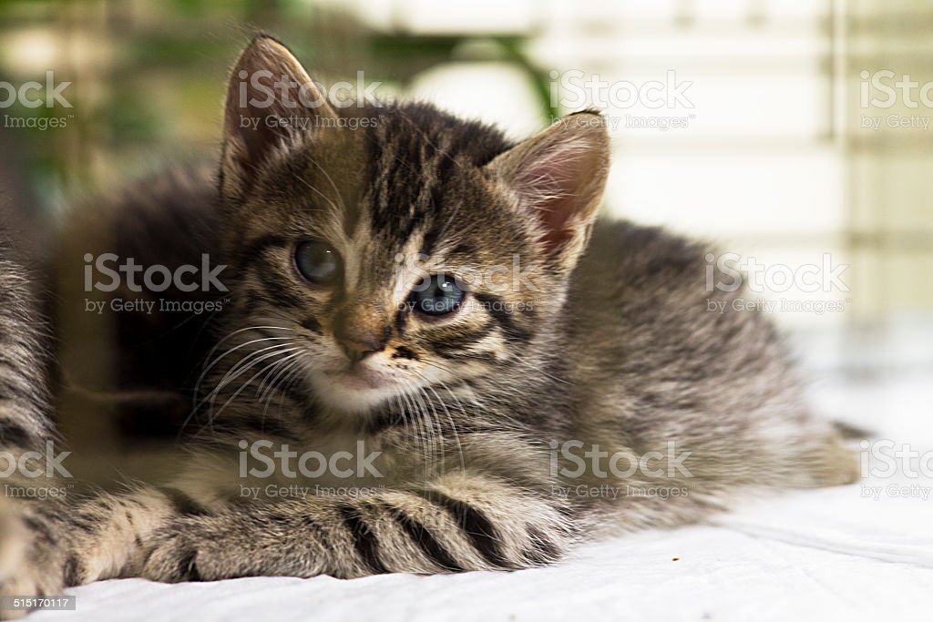 Kitten is looking to the camera stock photo