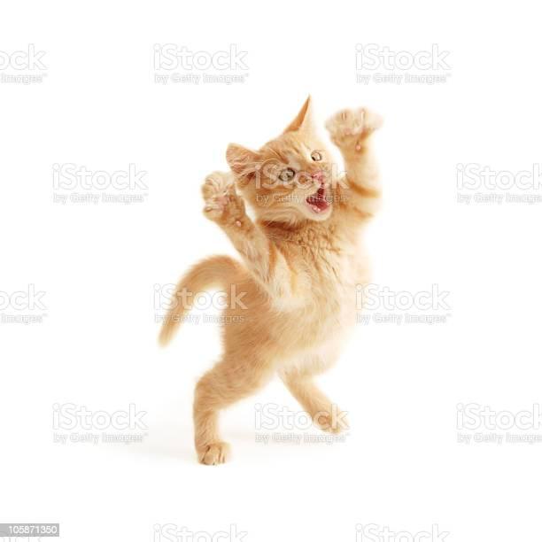 Kitten jumping picture id105871350?b=1&k=6&m=105871350&s=612x612&h=rmfittc4sxfbvw7tuxnwxu31ut6jrszyaheqhtj wke=