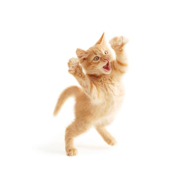 Kitten jumping picture id105871350?b=1&k=6&m=105871350&s=612x612&w=0&h=zo8zqwvayce vyqrsopbx11p8qnfdll 6rrp7zj 164=