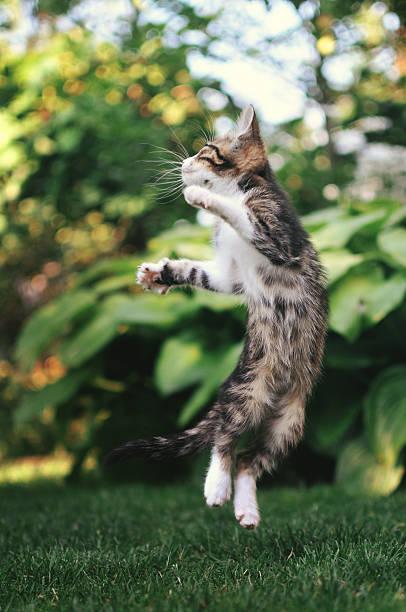 Kitten jumping picture id521076471?b=1&k=6&m=521076471&s=612x612&w=0&h=zlbldx5wvbp2b 6fv2dngi8shheojgd2nsuxulelc2g=