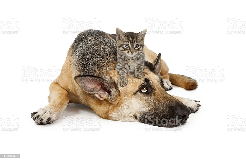 Kitten laying on German Shepherd stock photo