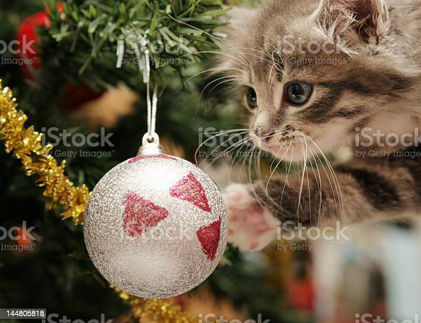 Kitten looking at a christmas tree ornament picture id144805818?b=1&k=6&m=144805818&s=612x612&h=bc3as dkf dthj99exxj27kbhuipoxwb4tb9nx3lyia=