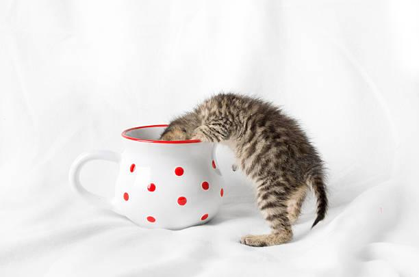 kitten looking into a mug - suche katze stock-fotos und bilder