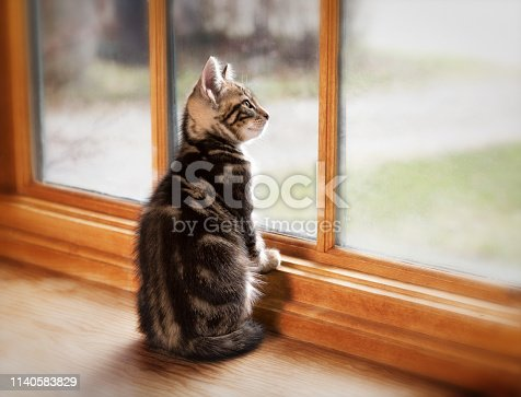 A gray pet kitten sits up at a window and looks outside.