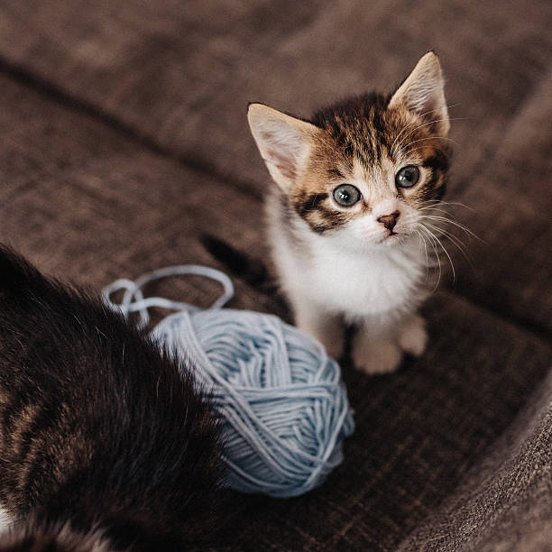 Kitten looking up next to ball of yarn on couch picture id498977994?b=1&k=6&m=498977994&s=612x612&w=0&h=rmladnzdfeebsrbeuhrjtkirba47oesuac9cvgbnyle=
